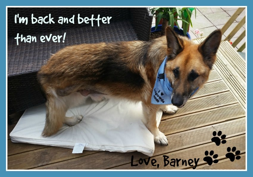 German Shepherd Tripawd Barney