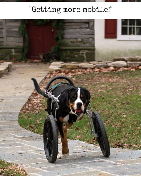 Tripawd dog wheelchair