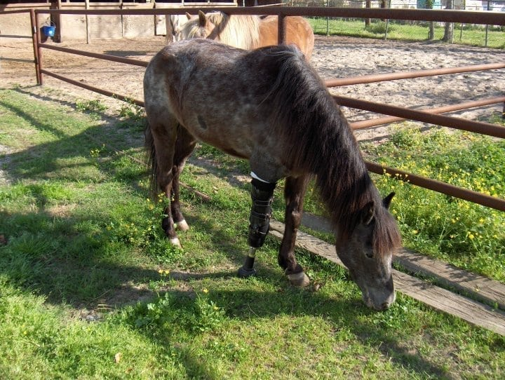 Molly Three Legged Pony