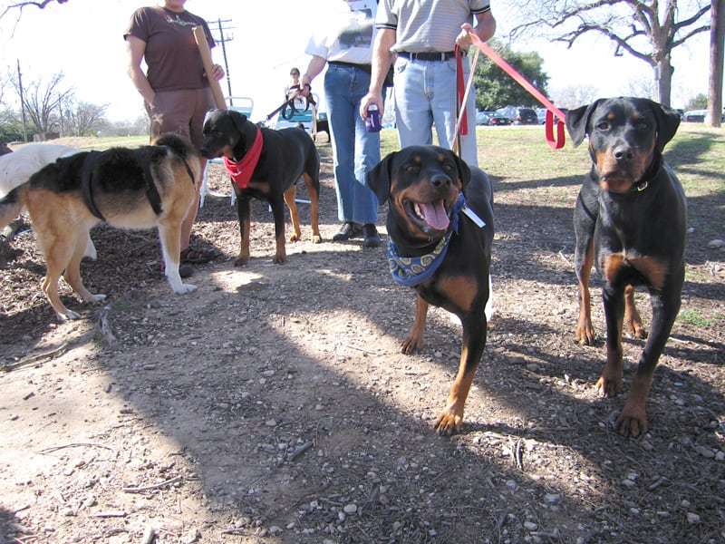 04. Jerry and the Rotties at the Tripawd party