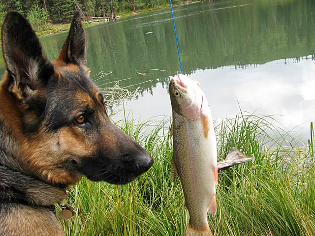 Tripawd, dog, german shepherd, three-legged, recipe, grain-free, treats, fish, salmon