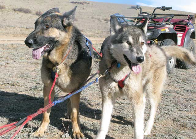 How Far Can A Dog Sled Go In A Day