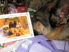 Tired Wyatt Reads Pugapalooza Christmas Card