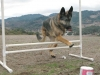 Three Legged GSD Wyatt Jumps Hurdle