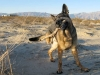 Wyatt on Patrol in Anza Borrego Desert