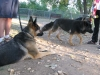 Wyatt and his new GSD friends