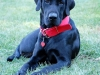Bentley three legged lab puppy available for adoption