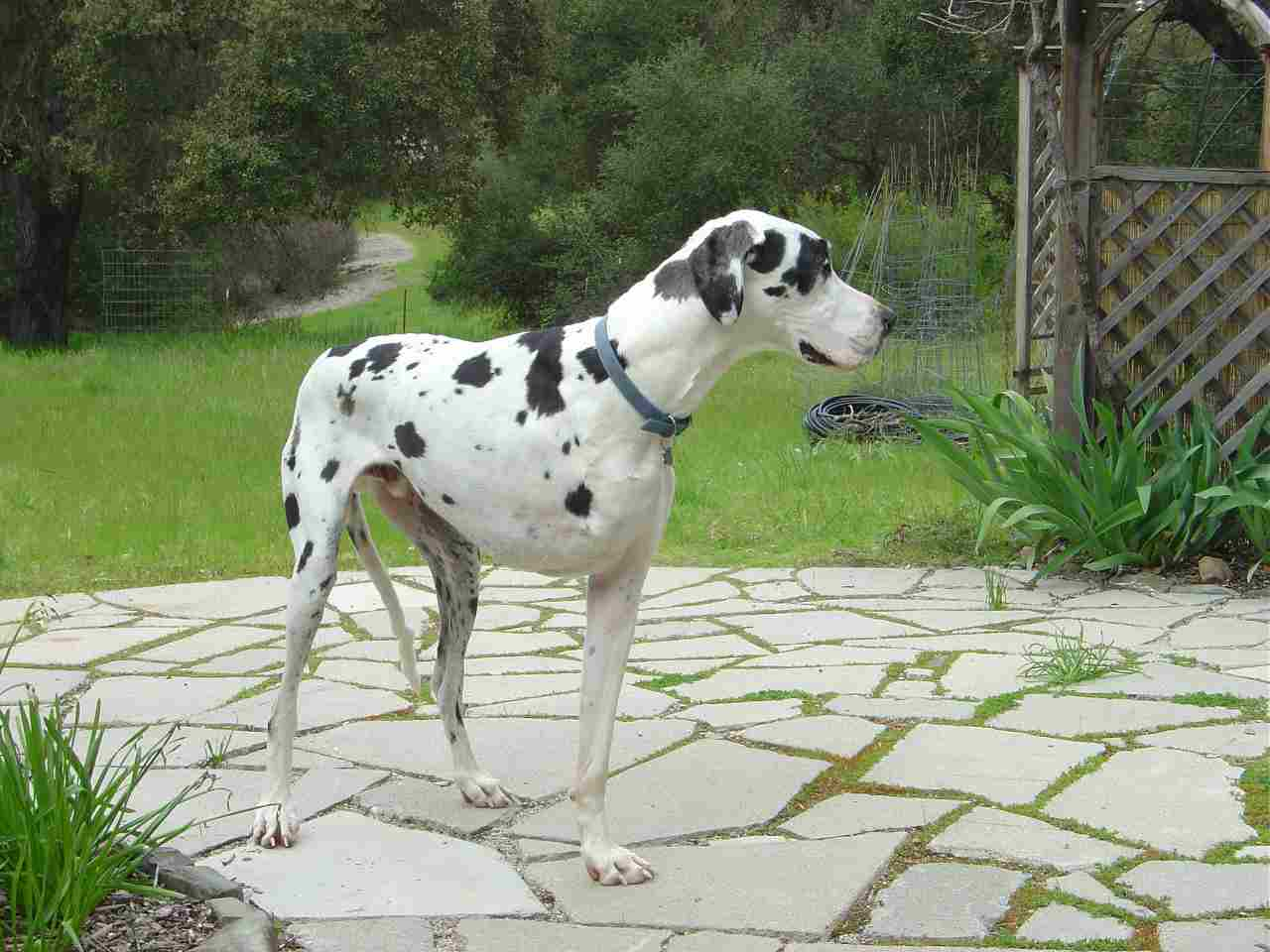 Moose the Three Legged Harlequein Great Dane Dog