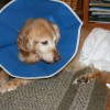 Golden Retriever Recovers from Amptuation Surgery
