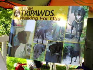 Team Tripawds at Puppy Up Walk Wheaton, IL
