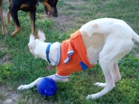 Three Legged Greyhound Rush Plays Ball
