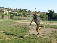 Three legged cancer dog Caira Sue leaps for ball