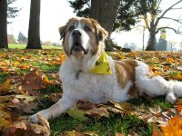 Three Legged Saint Bernard Indi