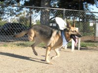 Three Legged German Shepherd Rescue Dog Codie Rae