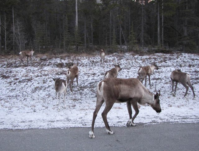 Caribou on the Loose