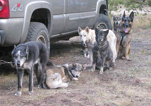 German Shepherd musher dog