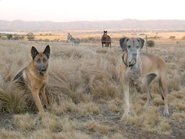 Argentina Three Legged Great Dane Horacia and Castano