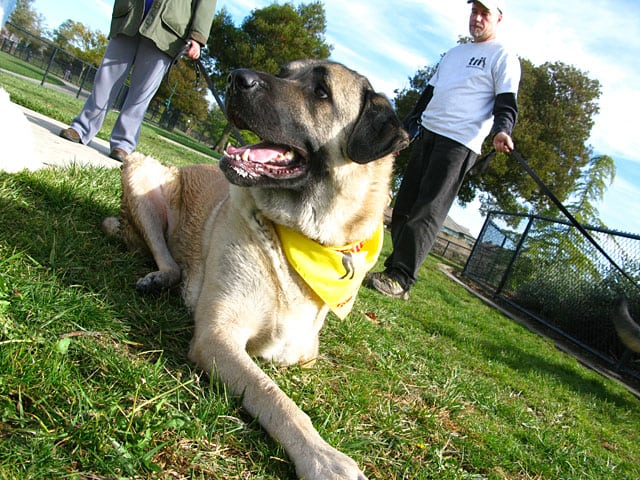 Three Legged Anatolian Shepherd Cemil