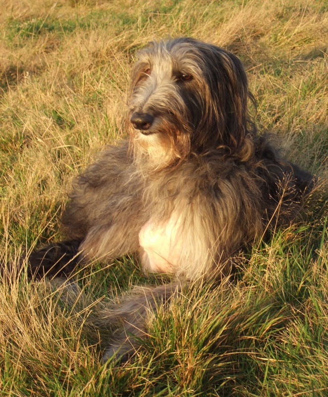 Three legged Deerhound Darcy