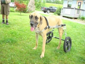 Tres in Eddies Wheels Dog Cart