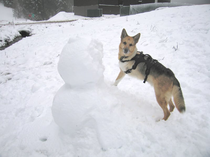 Three legged Jerry Dog plays in the snow