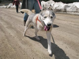 Three-Legged-Sled-Dog-Calpurnia-on-Colorado-Trail