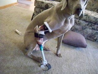 Tripawd-Fritz-and-his-Prosthetic-Limb