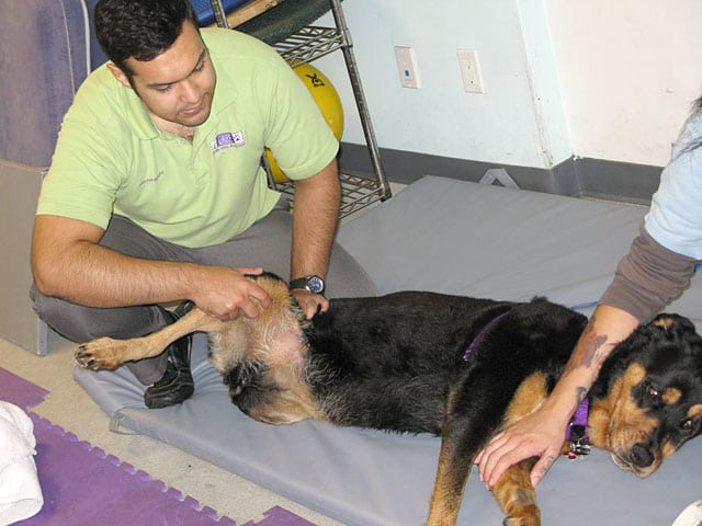 Rehab Care for Rear Leg Tripawd Lucy