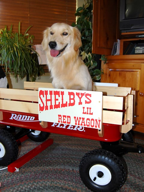 red radio flyer wagon help three legged dog shelby