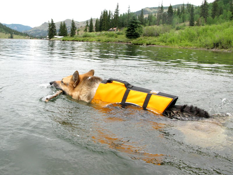 float coat life preserver for three-legged swimming dogs