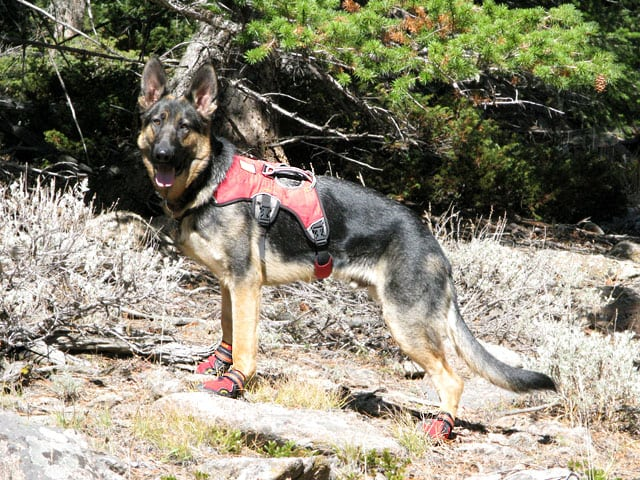 Wyatt wears Ruff Wear Web Master Harness and Grip Trex dog boots