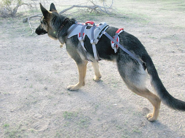 DoubleBack Harness Review for Rear Leg Tripawd Wyatt