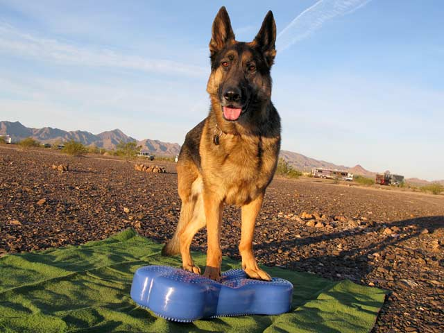 Three Legged GSD Wyatt Exercise on FitBone