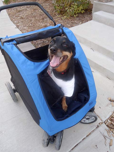 dymond in her big dog stroller