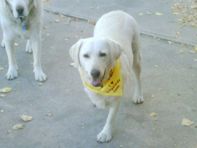 Three legged dog Tai in her bandanna from gifts.tripawds.com