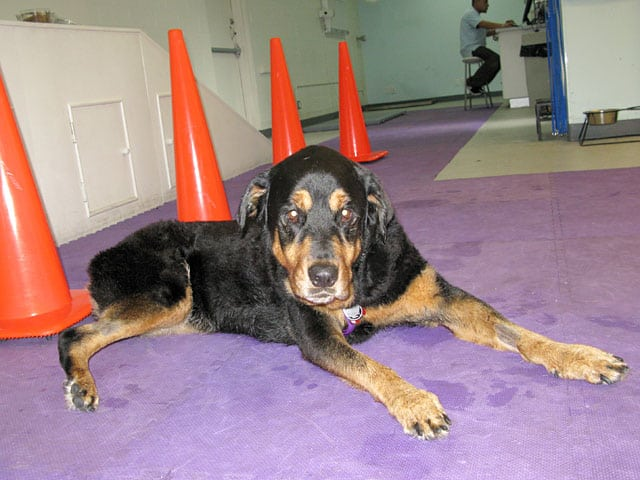 Canine Rehab for Rear Leg Tripawd for Lucy