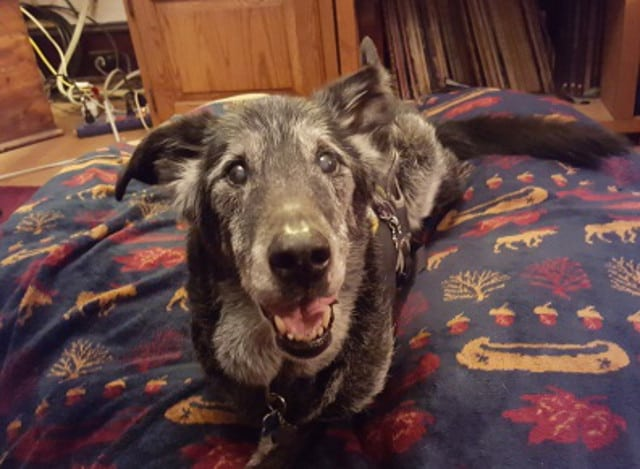 Tripawd senior dog Tucker