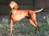 Three Legged AKC Award Winning Vizsla Hunting Dog Bart
