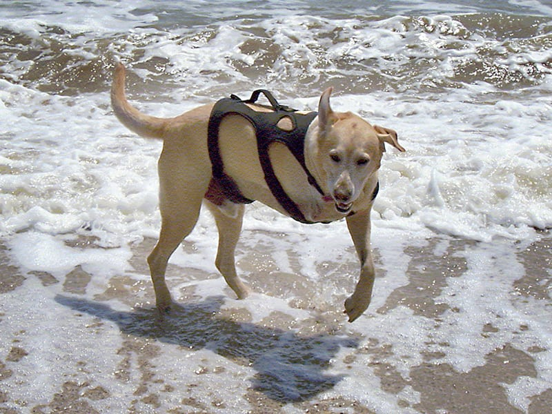 Three Legged Lab Barney Jumps Waves in Galveston, Texas