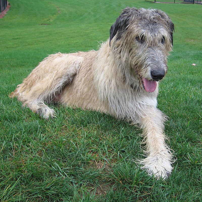 Three-Legged Irish Wolfhound Finnegan