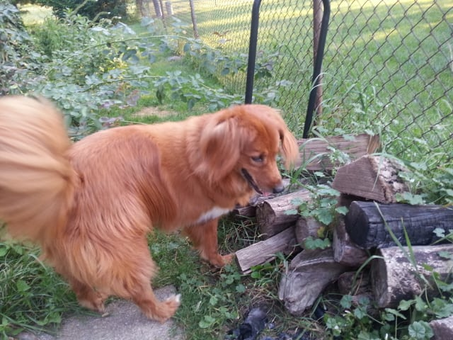 Murphy the tripawd diagnosed with histicytic sarcoma