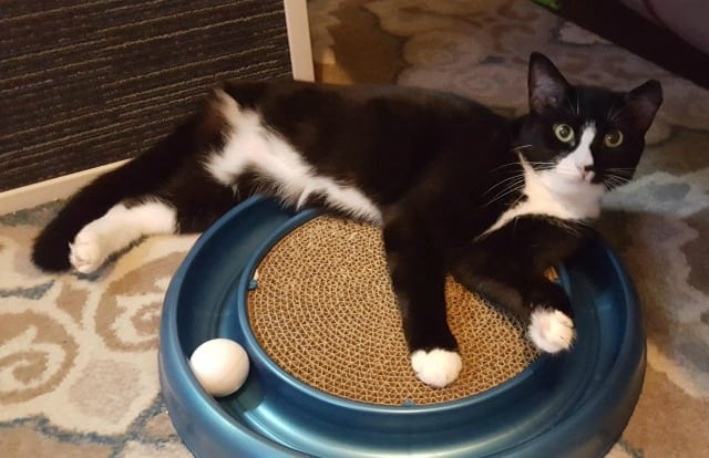 Adopt Sally the Tuxedo Tripawd Rescue Cat