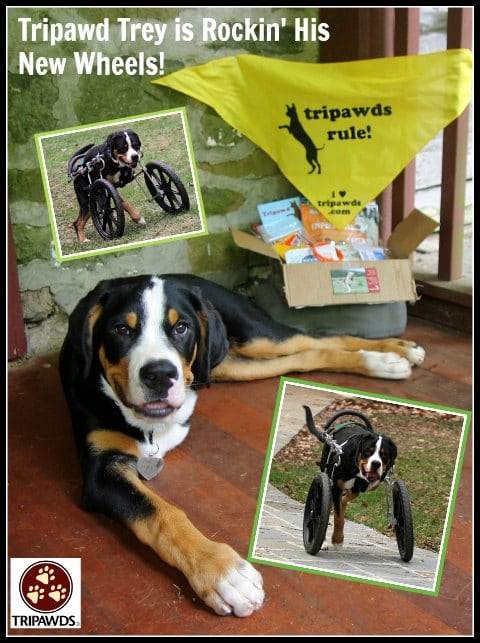 Tripawds 187 Tripawd Dog Wheelchair Training Tips For Front