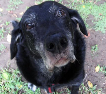Sami the Senior Tripawd in Los Angeles
