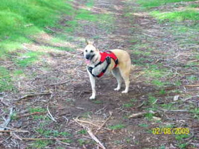 Three Legged Dog Wrigley wears Ruff Wear Harness