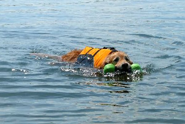 Three legged golden retriever swimming