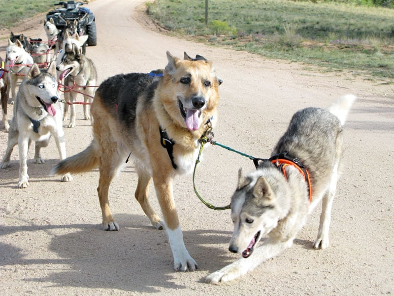 Jerry and Calpurnia lead Odaroloc sled dog team training