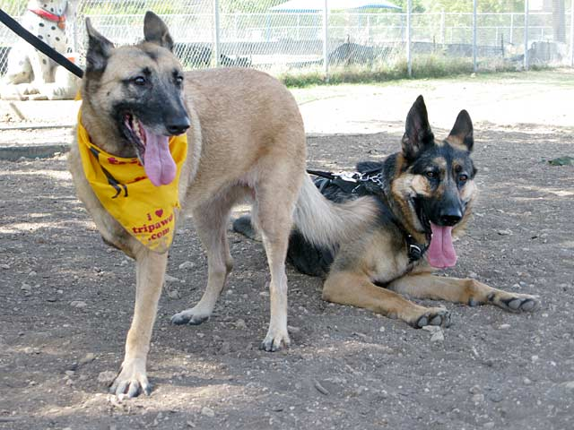 Three Legged German Shepherd Dogs Lizzie and Wyatt