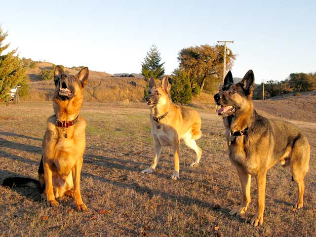 Oaktown Pack Three Legged German Shepherds