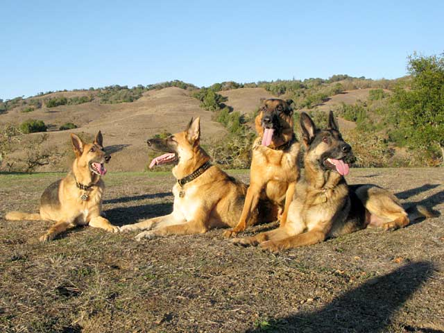The Oaktown Pack Three Legged German Shepherds